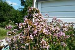 Bees Working Oregano