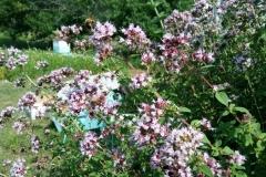 Bees Working Oregano 2