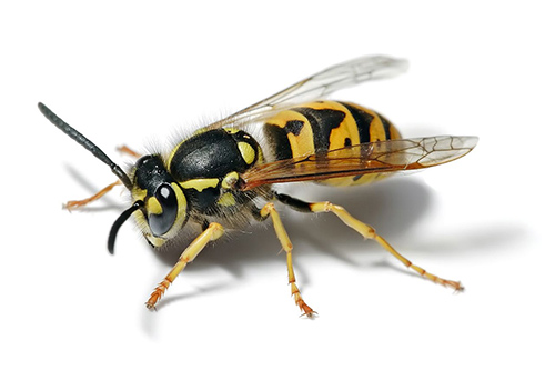 Robber Bees And Yellow Jackets