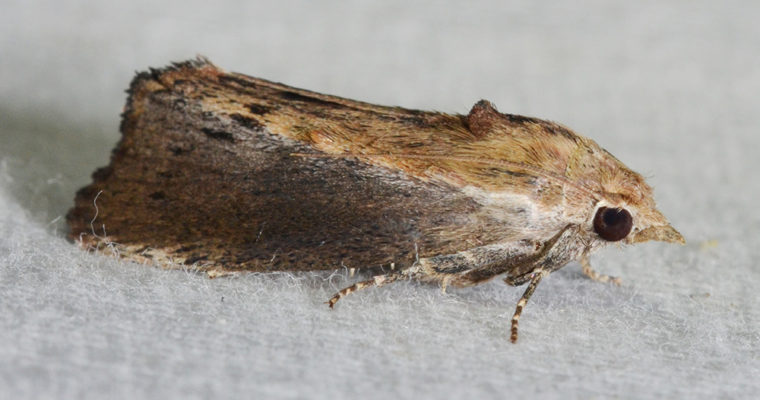 Galleria mellonella: An In Depth Introduction To The Greater Wax Moth